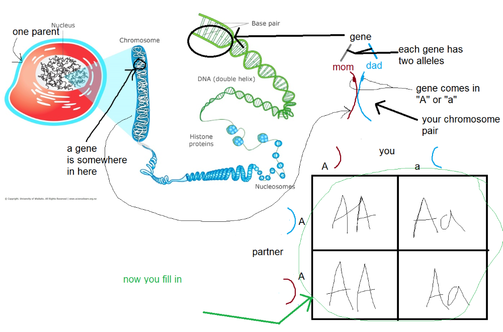 Tutoring whiteboard, showing meiosis and Punnet square, with tutor annotations